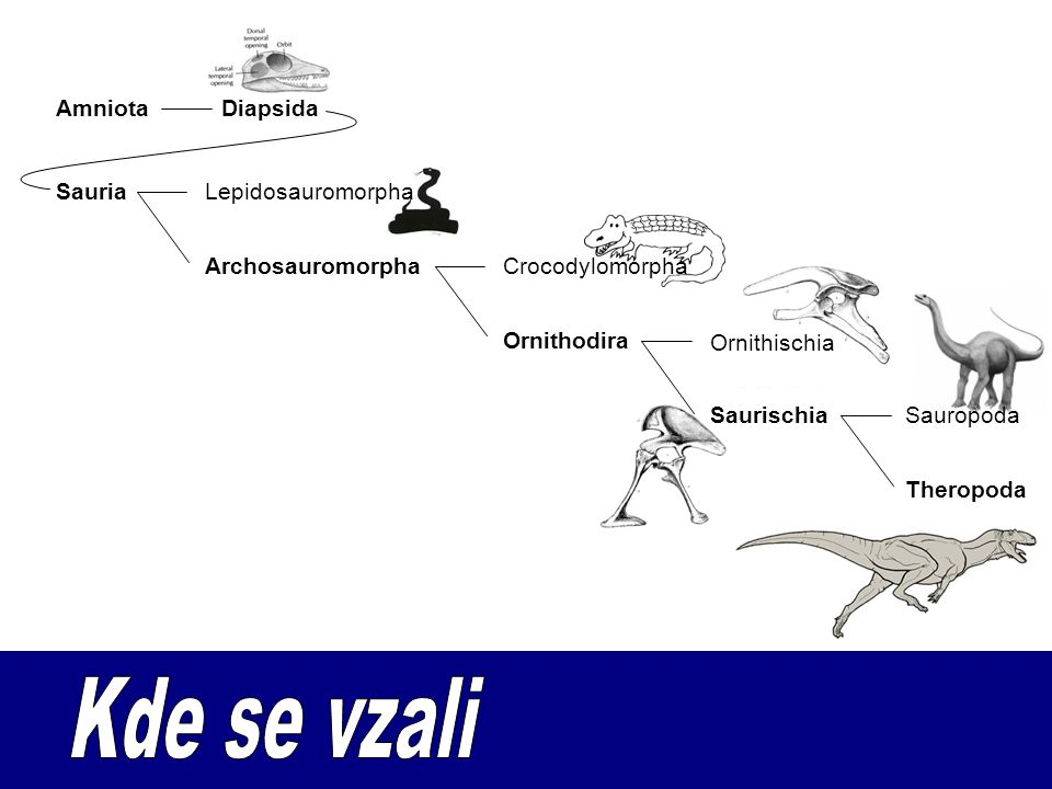 Kde se vzali Amniota Diapsida Sauria Lepidosauromorpha