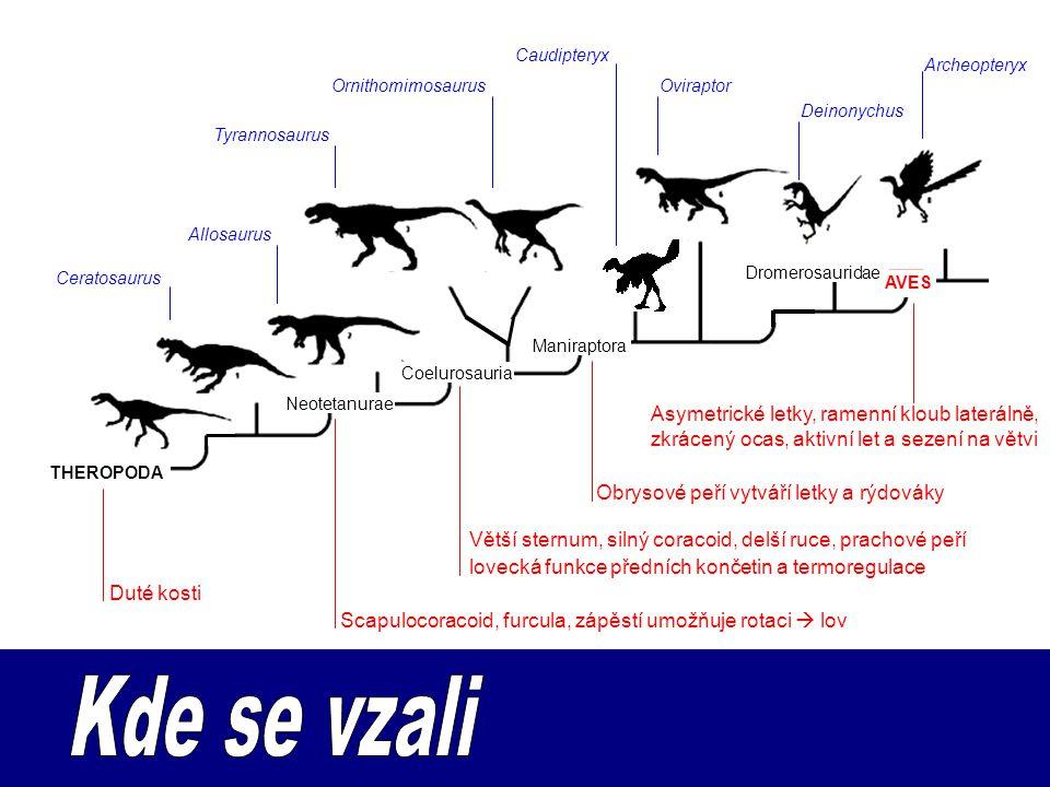 Caudipteryx Archeopteryx. Ornithomimosaurus. Oviraptor. Deinonychus. Tyrannosaurus. Allosaurus.