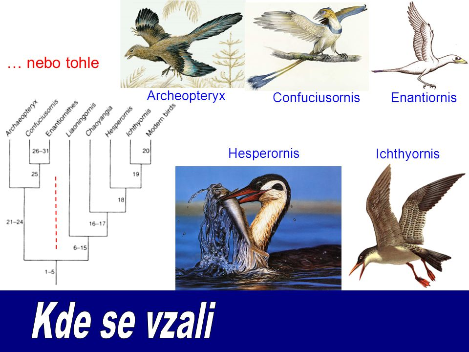 Kde se vzali … nebo tohle Archeopteryx Confuciusornis Enantiornis