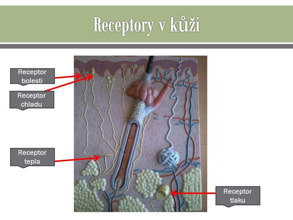 Receptory v kůži Receptor bolesti Receptor chladu Receptor tepla