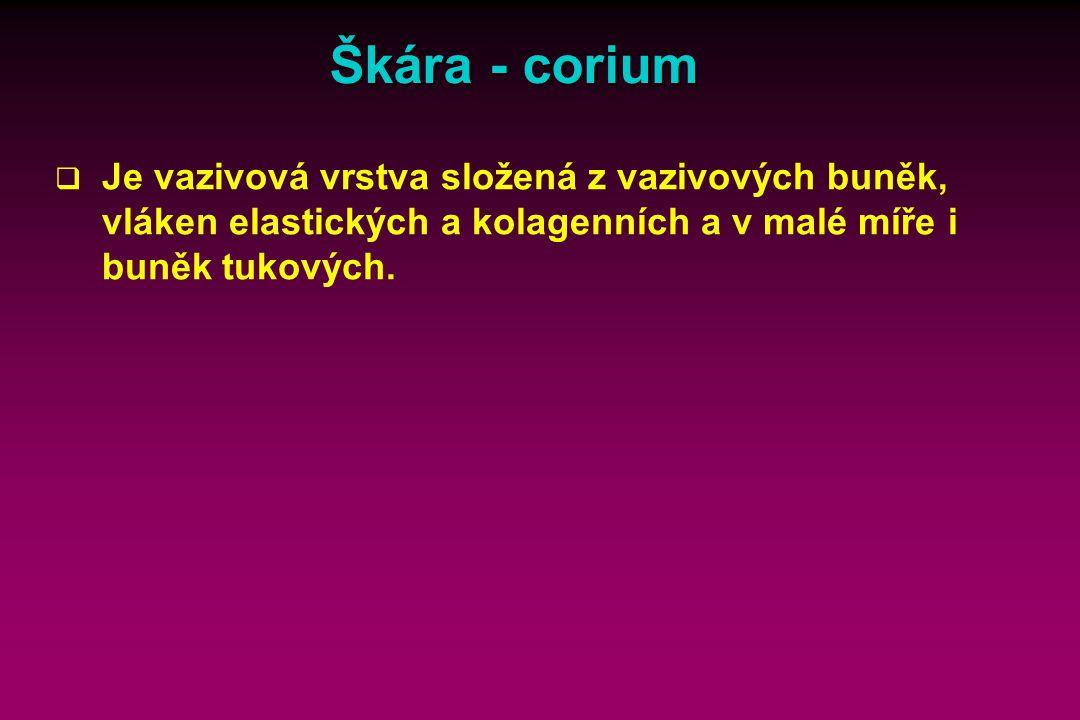 Škára - corium Text: Reprodukce nálevníků