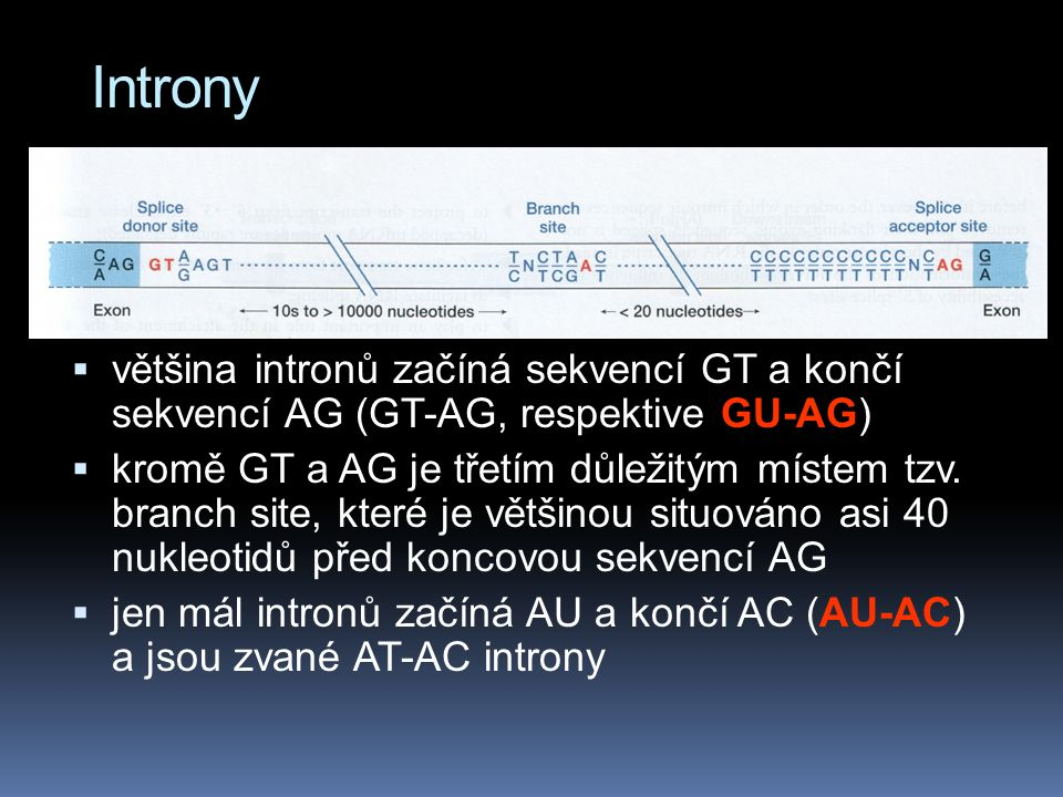 Introny většina intronů začíná sekvencí GT a končí sekvencí AG (GT-AG, respektive GU-AG)
