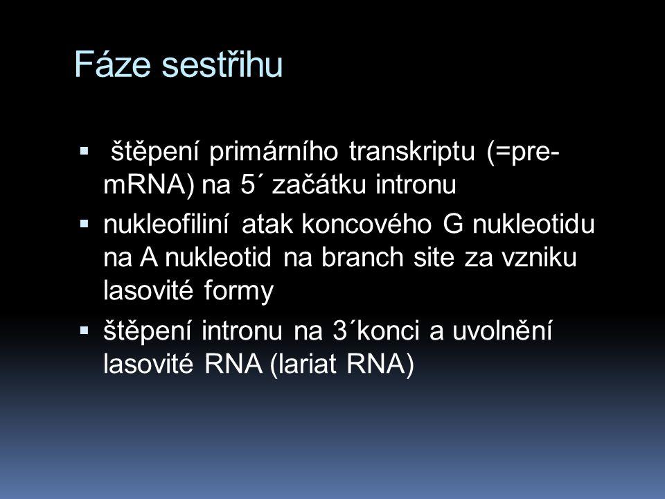 Fáze sestřihu štěpení primárního transkriptu (=pre- mRNA) na 5´ začátku intronu.