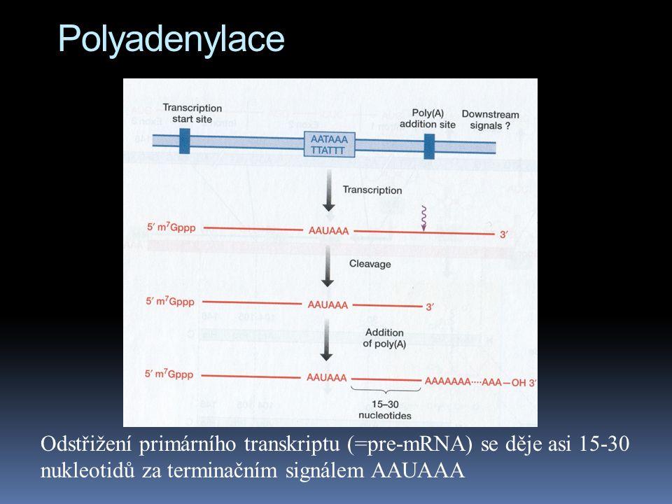 Polyadenylace Odstřižení primárního transkriptu (=pre-mRNA) se děje asi 15-30 nukleotidů za terminačním signálem AAUAAA.