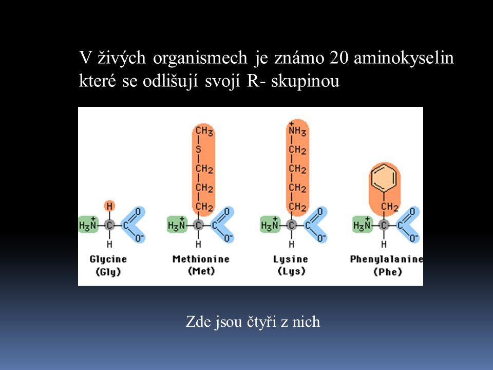 V živých organismech je známo 20 aminokyselin