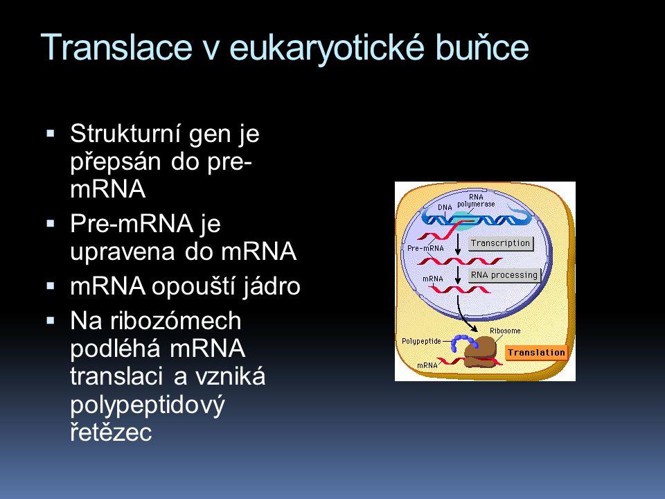 Translace v eukaryotické buňce