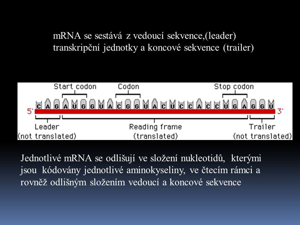 mRNA se sestává z vedoucí sekvence,(leader)