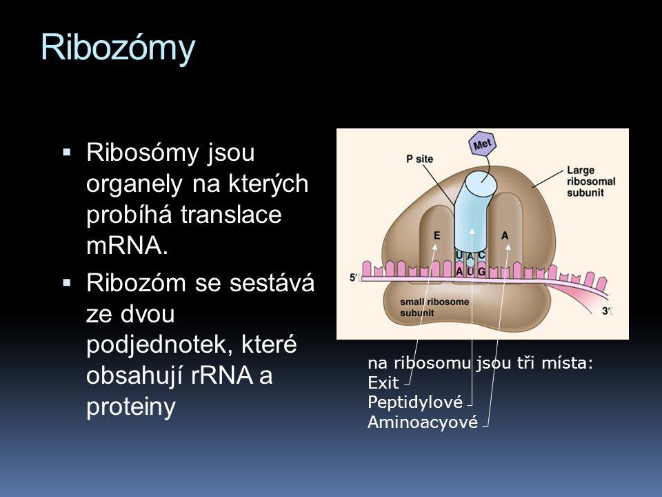 Ribozómy Ribosómy jsou organely na kterých probíhá translace mRNA.