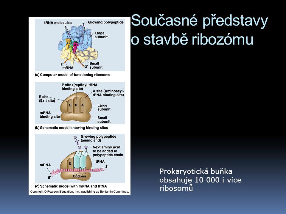 Současné představy o stavbě ribozómu