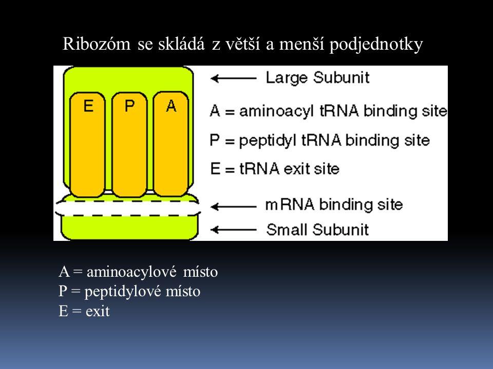 Ribozóm se skládá z větší a menší podjednotky