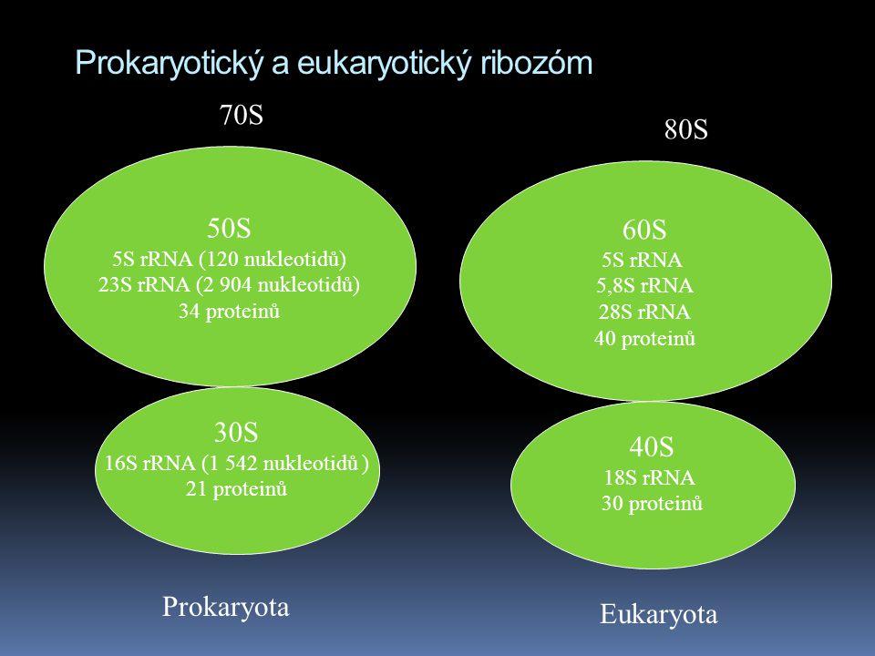 Prokaryotický a eukaryotický ribozóm