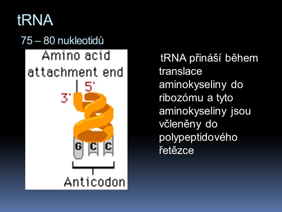 tRNA 75 – 80 nukleotidů tRNA přináší během translace aminokyseliny do ribozómu a tyto aminokyseliny jsou včleněny do polypeptidového řetězce.