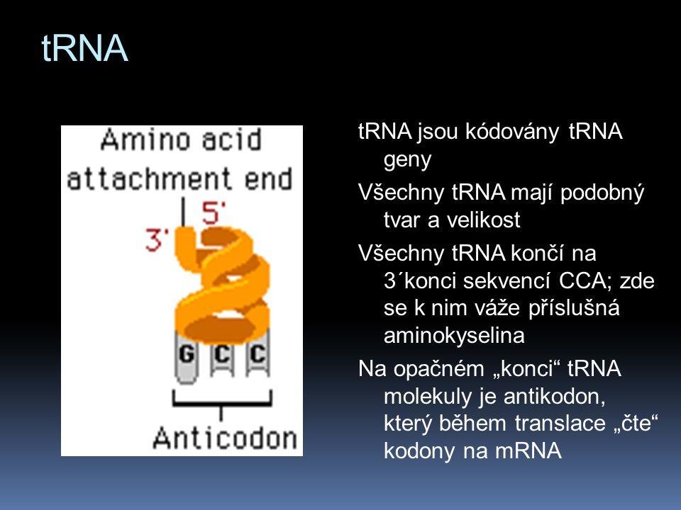 tRNA tRNA jsou kódovány tRNA geny