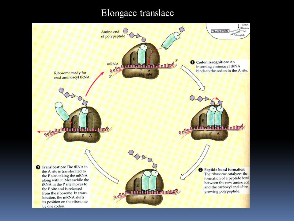 Elongace translace
