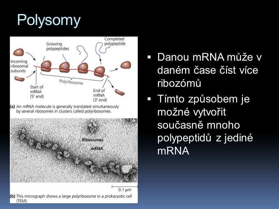 Polysomy Danou mRNA může v daném čase číst více ribozómů
