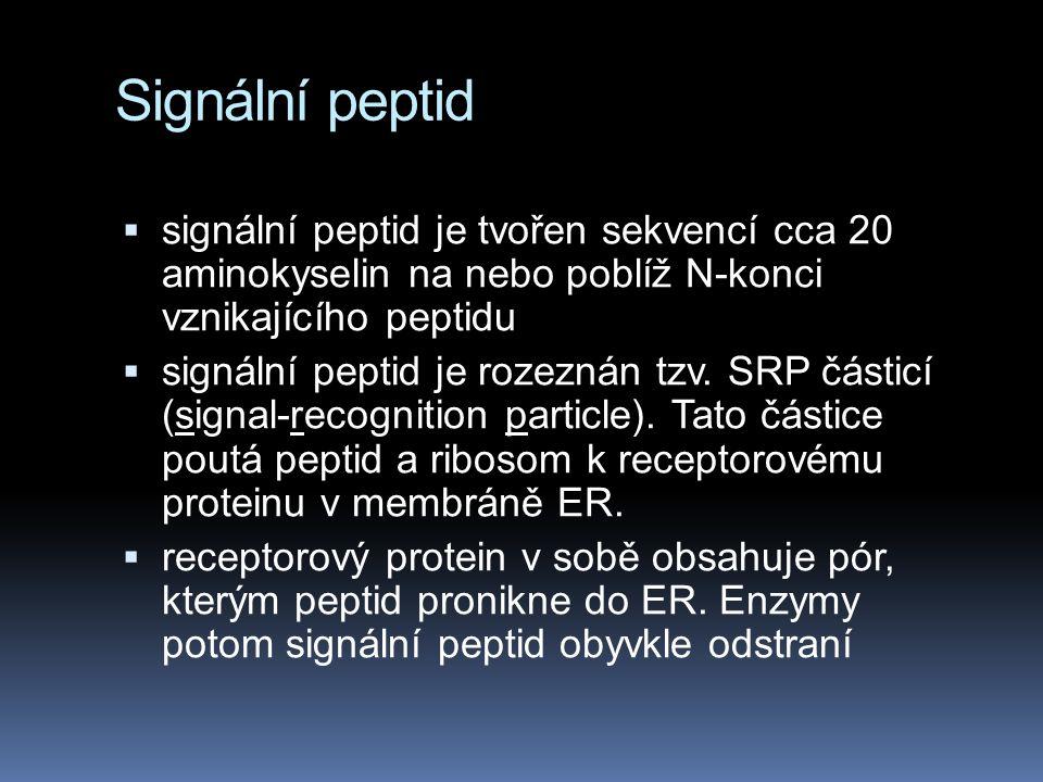 Signální peptid signální peptid je tvořen sekvencí cca 20 aminokyselin na nebo poblíž N-konci vznikajícího peptidu.