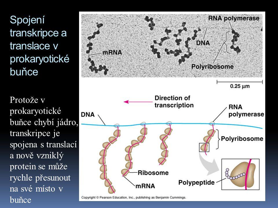 Spojení transkripce a translace v prokaryotické buňce