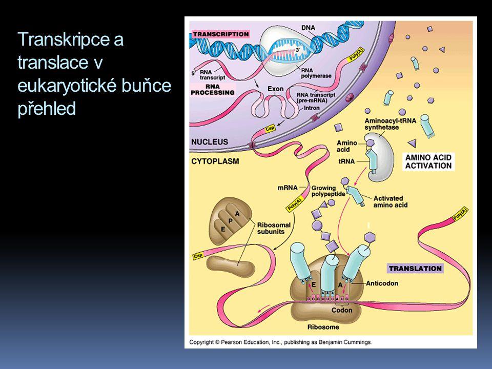 Transkripce a translace v eukaryotické buňce přehled