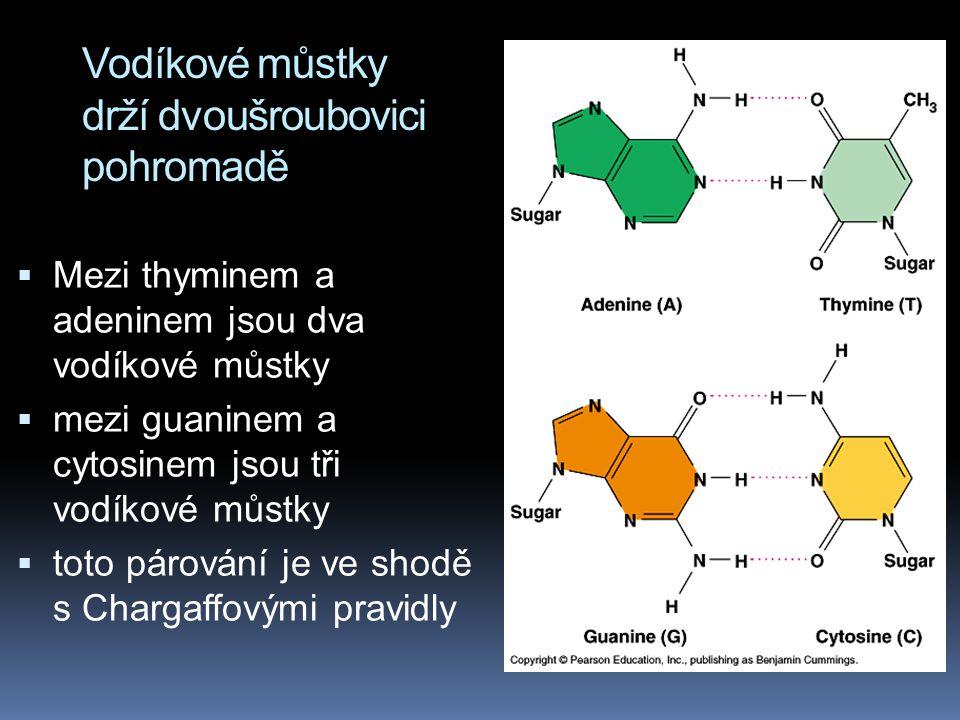 Vodíkové můstky drží dvoušroubovici pohromadě