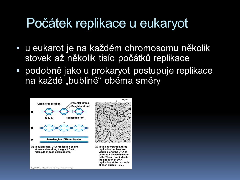 Počátek replikace u eukaryot