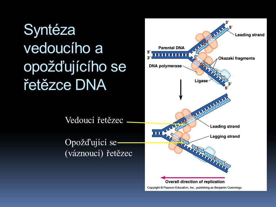 Syntéza vedoucího a opožďujícího se řetězce DNA