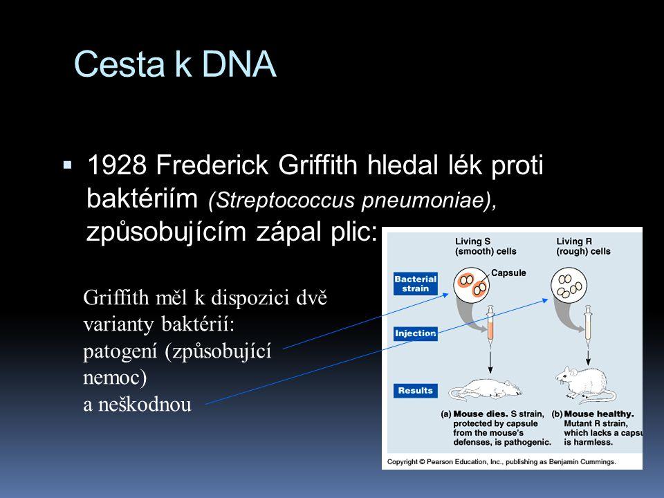Cesta k DNA 1928 Frederick Griffith hledal lék proti baktériím (Streptococcus pneumoniae), způsobujícím zápal plic: