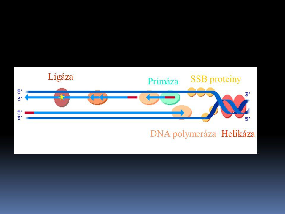 Ligáza SSB proteiny Primáza DNA polymeráza Helikáza