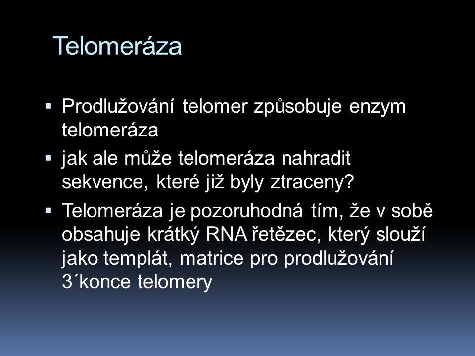 Telomeráza Prodlužování telomer způsobuje enzym telomeráza