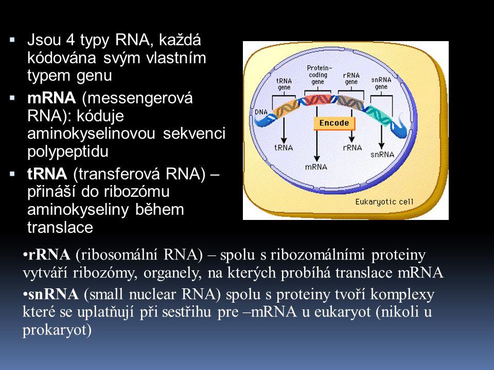 Jsou 4 typy RNA, každá kódována svým vlastním typem genu