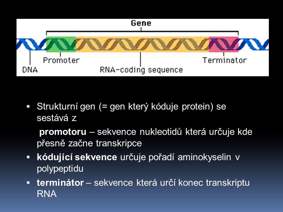 Strukturní gen (= gen který kóduje protein) se sestává z
