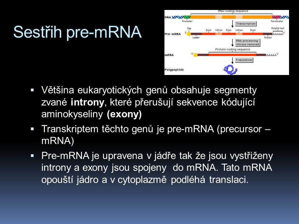 Sestřih pre-mRNA Většina eukaryotických genů obsahuje segmenty zvané introny, které přerušují sekvence kódující aminokyseliny (exony)