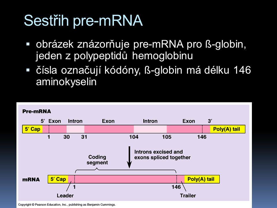 Sestřih pre-mRNA obrázek znázorňuje pre-mRNA pro ß-globin, jeden z polypeptidů hemoglobinu.