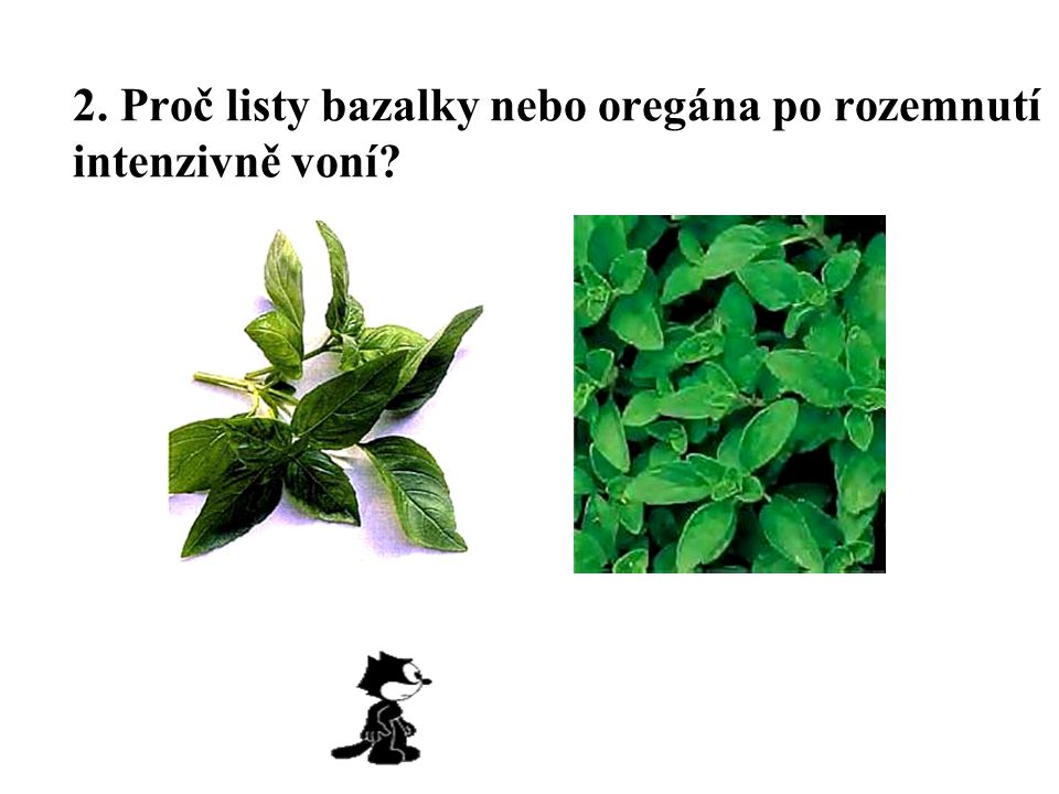 2. Proč listy bazalky nebo oregána po rozemnutí intenzivně voní