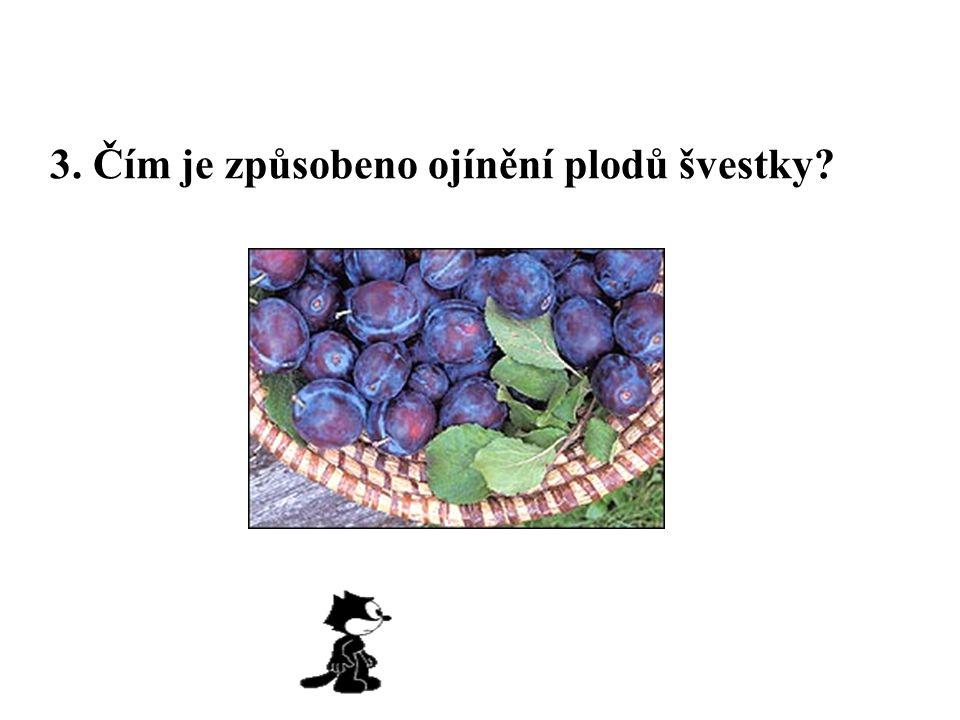 3. Čím je způsobeno ojínění plodů švestky