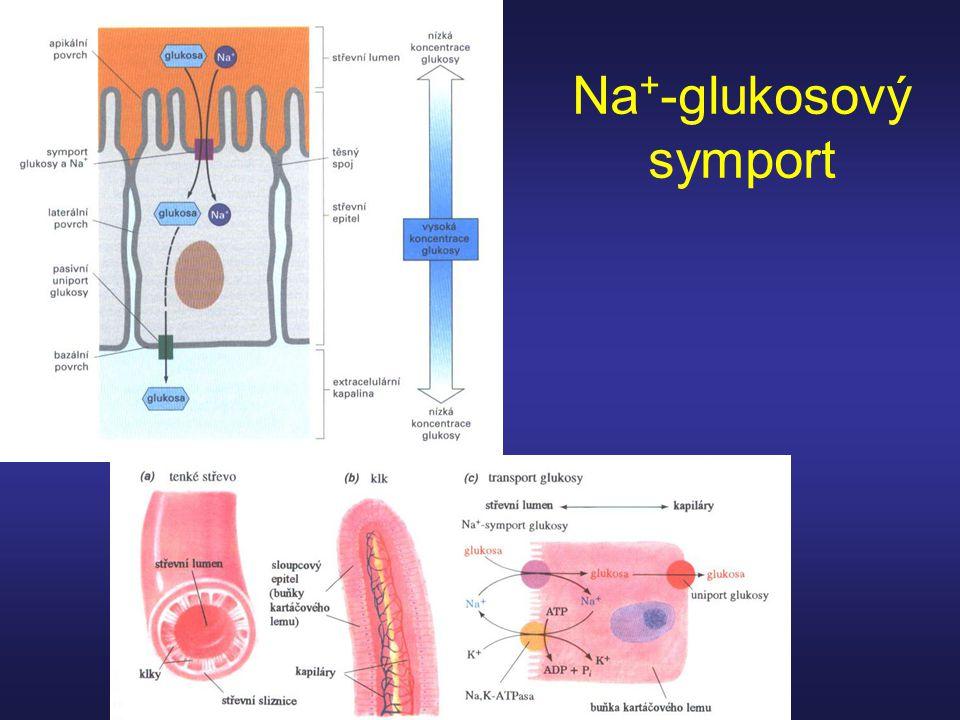 Na+-glukosový symport