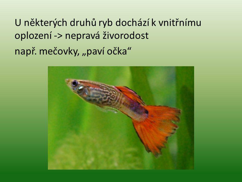 """U některých druhů ryb dochází k vnitřnímu oplození -> nepravá živorodost např. mečovky, """"paví očka"""