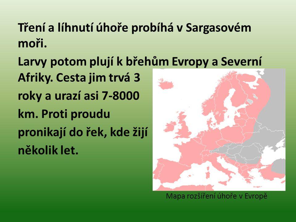 Tření a líhnutí úhoře probíhá v Sargasovém moři.