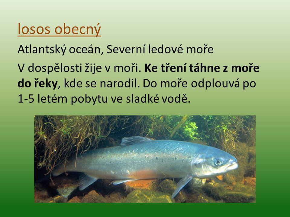 losos obecný Atlantský oceán, Severní ledové moře