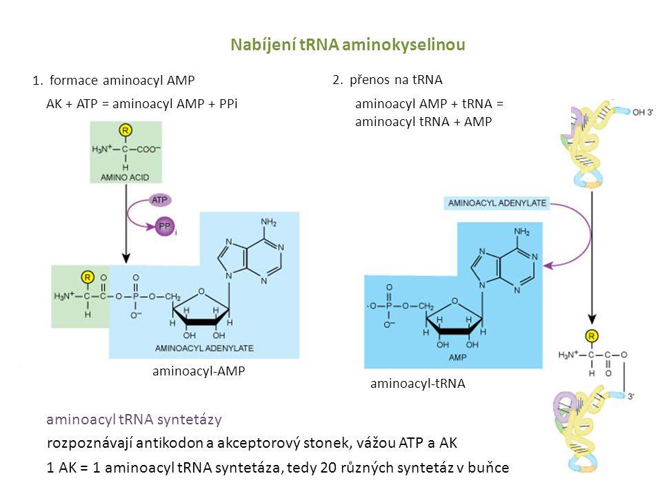 Nabíjení tRNA aminokyselinou