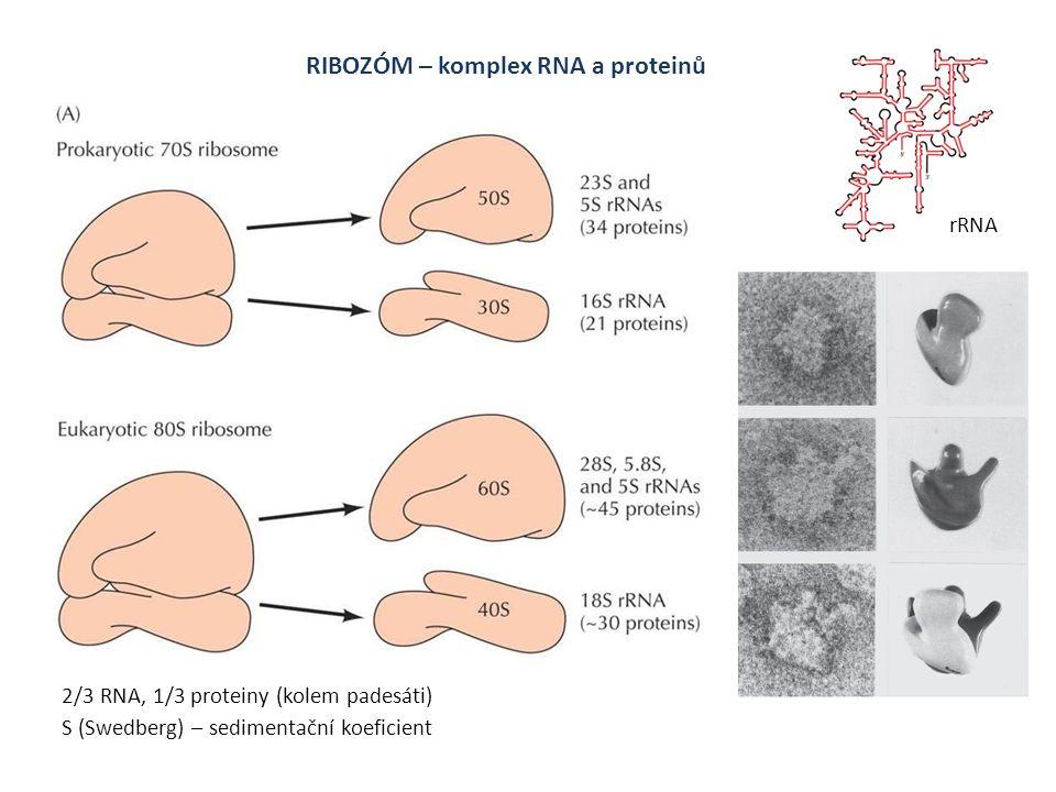 RIBOZÓM – komplex RNA a proteinů