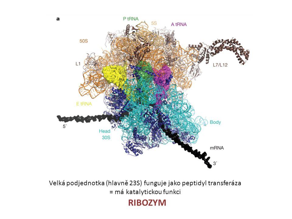 Velká podjednotka (hlavně 23S) funguje jako peptidyl transferáza