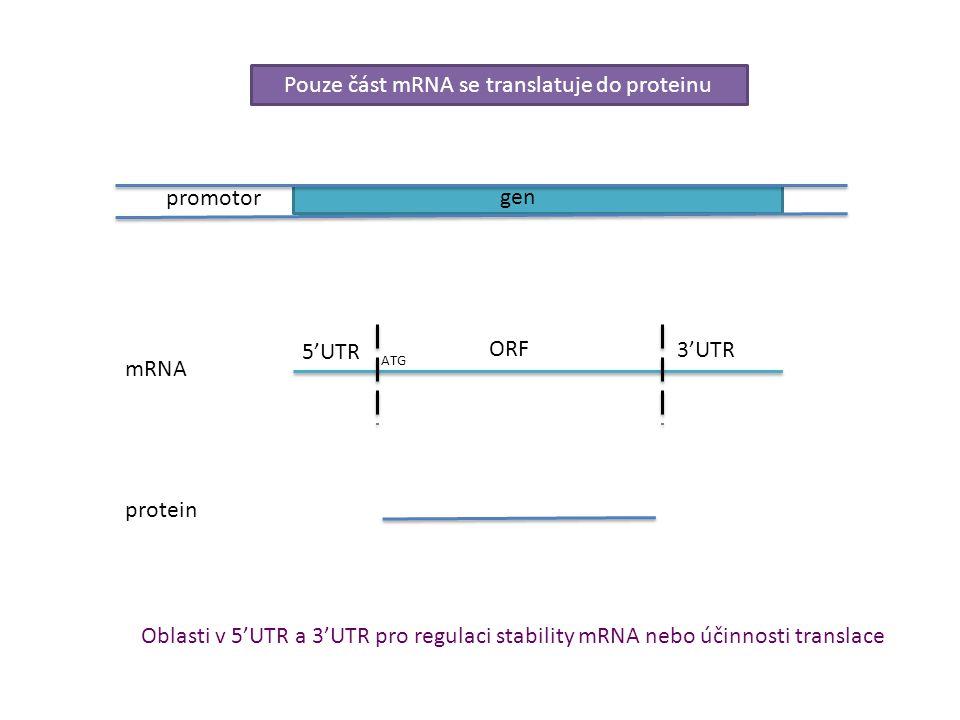 Pouze část mRNA se translatuje do proteinu