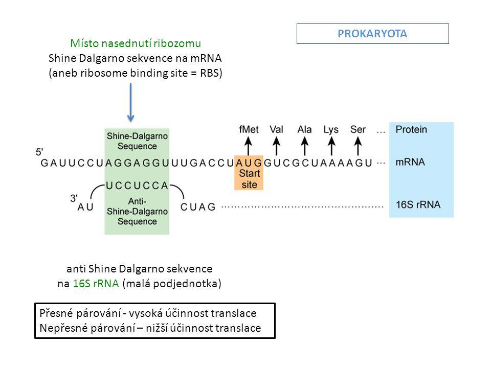 Místo nasednutí ribozomu Shine Dalgarno sekvence na mRNA