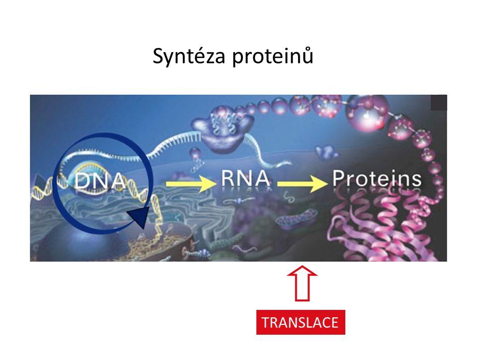 Syntéza proteinů mRNA – tRNA – ribosome definition TRANSLACE