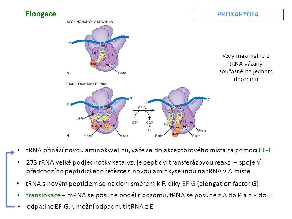 Vždy maximálně 2 tRNA vázány současně na jednom ribozomu