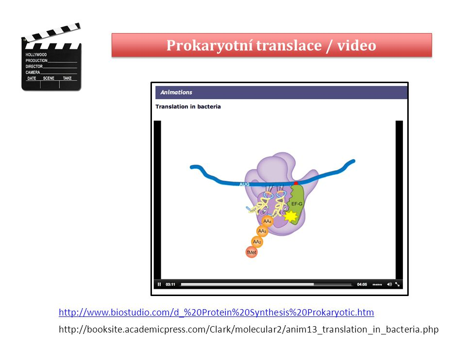 Prokaryotní translace / video