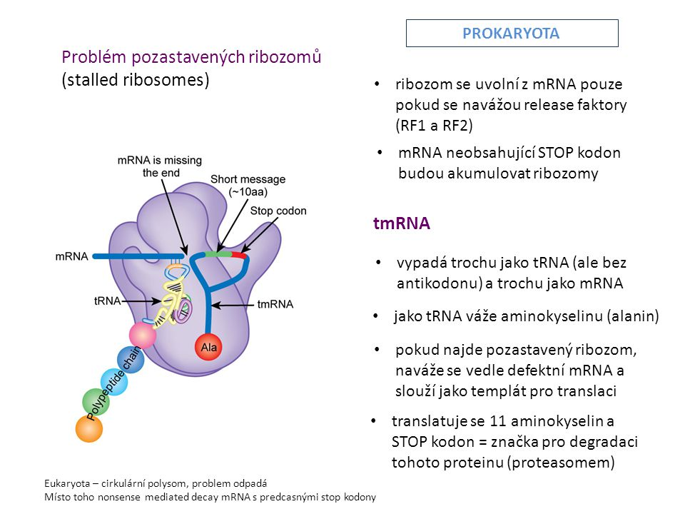 Problém pozastavených ribozomů (stalled ribosomes)