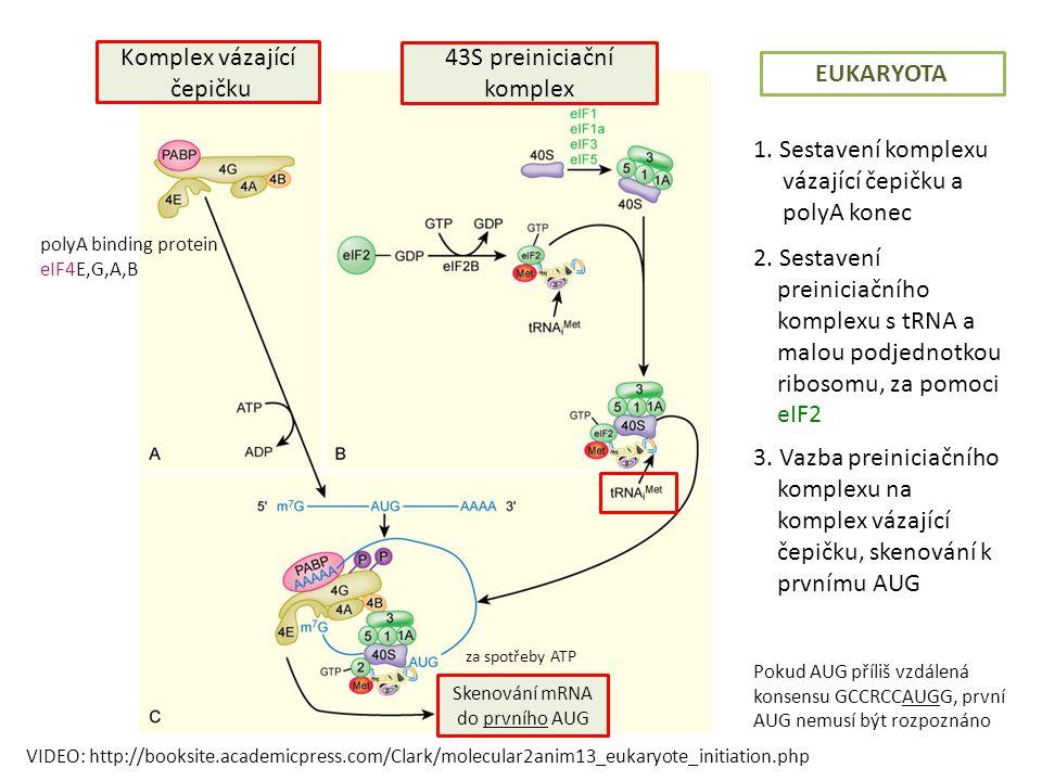43S preiniciační komplex