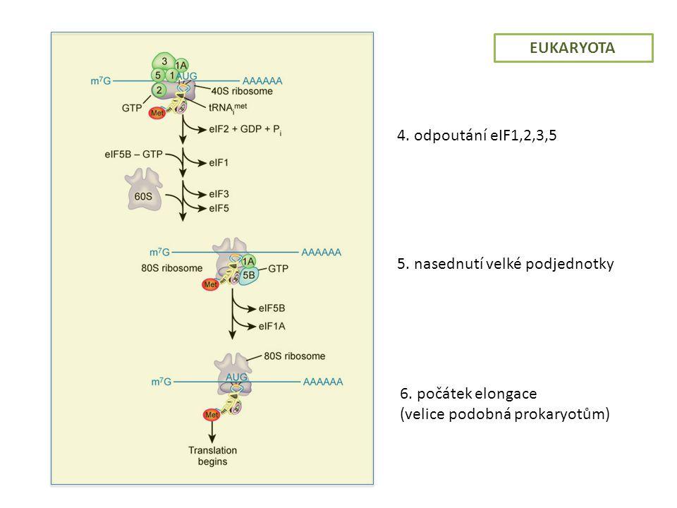 EUKARYOTA 4. odpoutání eIF1,2,3,5. 5. nasednutí velké podjednotky.