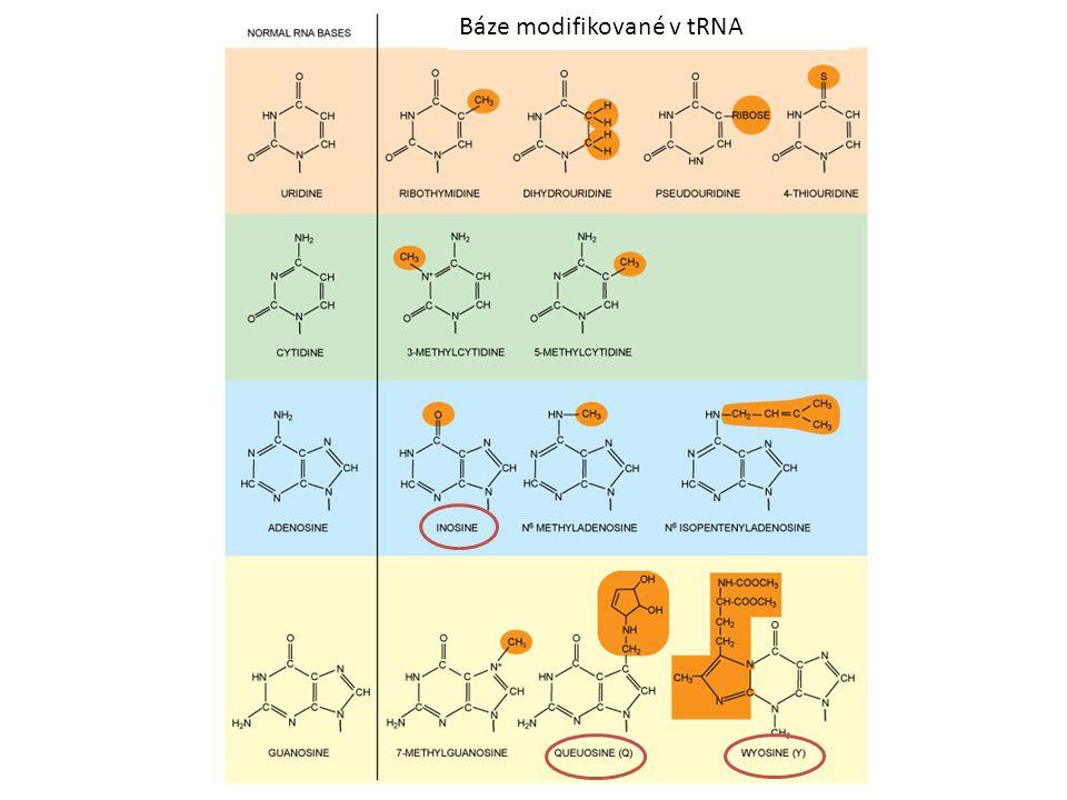 Báze modifikované v tRNA